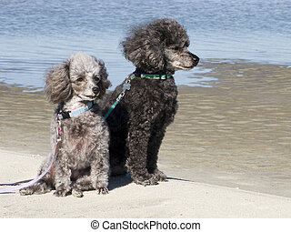 Poodles on the beach - Grey and black poodles sitting on the...