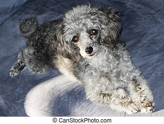 Happy grey poodle - Grey poodle on a blue background