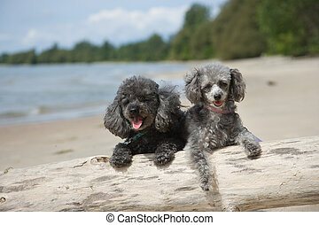 Poodles hanging out at the beach - Grey and black poodles on...