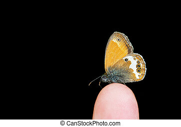 Pearly Heat on the finger - Pearly Heath Coenonympha arcania...