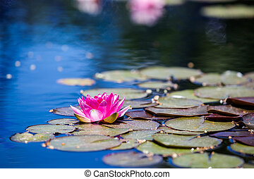 Water lily - Blooming water lily in small pond.