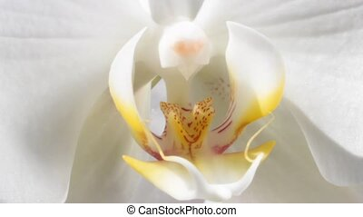 White Orchid macro footage