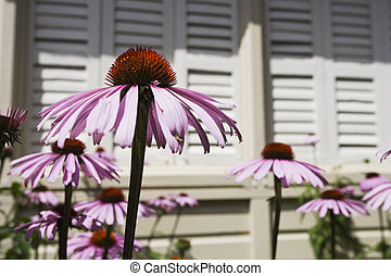 Purple Coneflowers with window shutters in the background