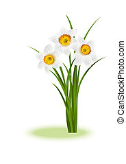 Spring Flowers White narcissus on white background with...