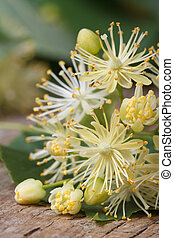yellow flowers of linden macro vertical - yellow flowers of...
