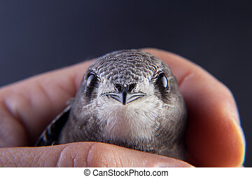 Baby bird in my hand - Beautiful young swallow Sand Martin,...