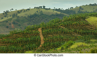 Banana and Coffee Plantation - Banana and Coffee plantation...