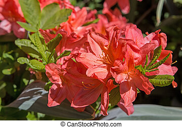 Blooming rhododendron - Close-up of a blooming red...