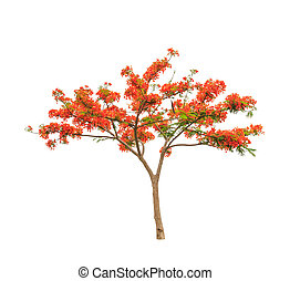 Royal Poinciana or Flamboyant tree (Delonix regia), tropical...