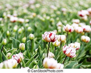 Flaming Club Tulip - Red cream and white Flaming Club Tulip...