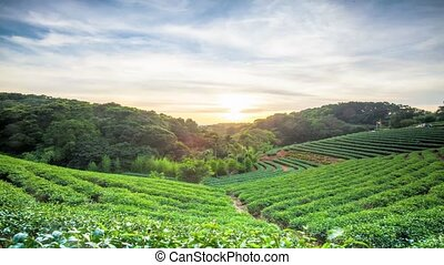 Time lapse of tea plantation landscape sunset