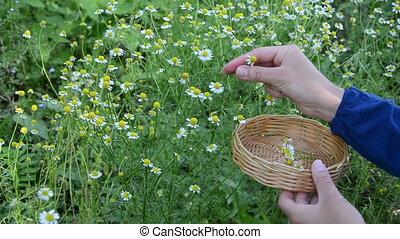 woman hand chamomile pick