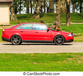 A family in car, Knowsley Safari Park, Baboon sits on car...