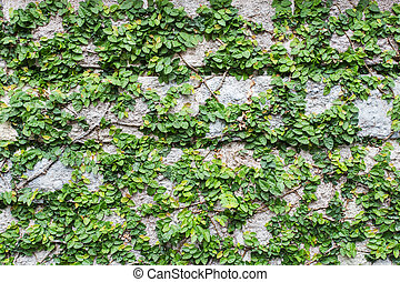 The Green Creeper Plant on brick Wall Background