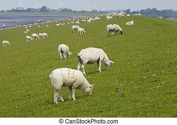 Buesum - Dike with sheeps - A dyke near Buesum in North...