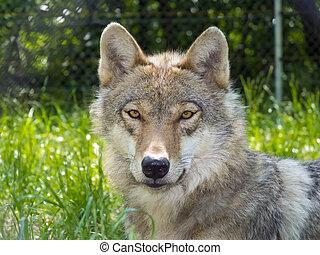 European gray wolf Canis lupus lupus portrait