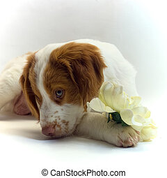 brittany puppy with flower - pretty little brittany puppy...