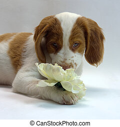 brittany puppy smelling a flower