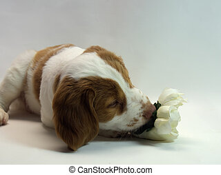brittany puppy - 10 week old brittany puppy smelling a...