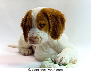 brittany puppy - pretty 10 week old brittany puppy with a...