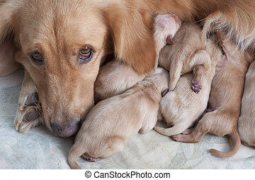 first day of golden retriever puppies and mom