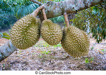 durian fruit - durian is king asia fruit at branch