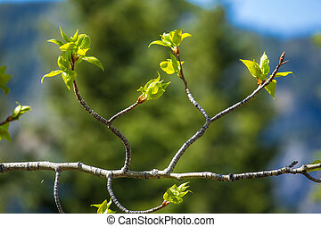 Fresh green leaves - Fresh new springtime leaves on an Aspen...