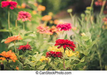 Zinnia flower vintage - Zinnia flower in the garden or...