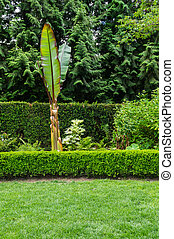 Grassy lawn with hedge and banana plant