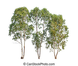 Three Eucalyptus trees, tropical tree in the northeast of...