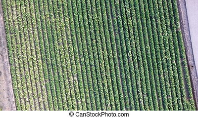 Lettuce field - Dizzy Aerial view of Lettuce field