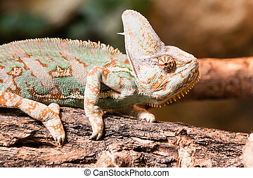 A veiled chameleon lizard standing on brench