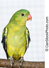 The Regent Parrot (Polytelis anthopeplus) on the brench with...