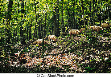Piglets - Herd of italian pigs eating acorns of oaks in the...