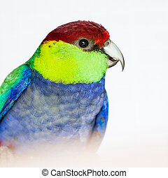 The Red-capped Parrot (Purpureicephalus spurius) on the...