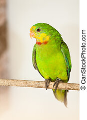 The Superb Parrot (Polytelis swainsonii) on the brench