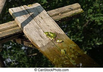 綠色, 很少, 組, 青蛙
