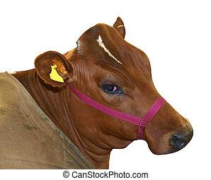 rojo, Ayrshire, vaca