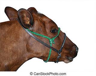 ayrshire, vaca, rojo