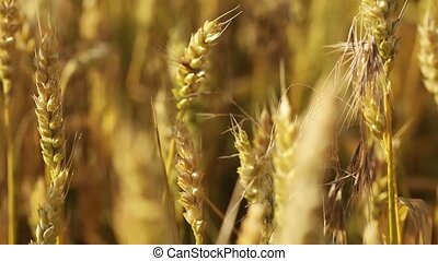 Wheatfield - Focus with wheat spikelets moved to another...