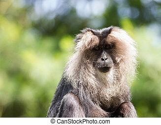 lion-tailed macaque portrait - lion-tailed macaque Portrait....
