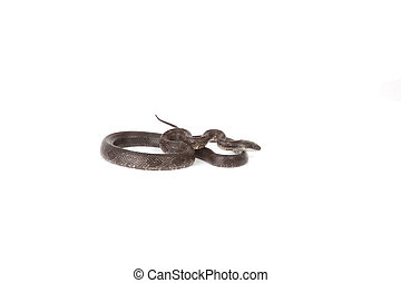 Blue Racer - A blue racer snake isolated on a white...