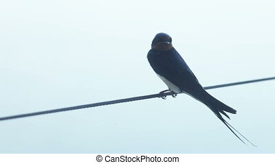 Swift on wire - Sitting on a wire and cleans swift wings