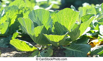 Cabbage growing in the garden