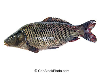 Fish isolated - Big fat fish (carp) isolated on white