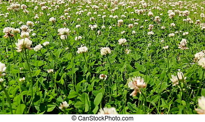 Blooming clover meadow - Low angle shot of blooming clover...