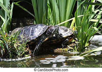 Red Eared Slider Turtles Basking in the Sun