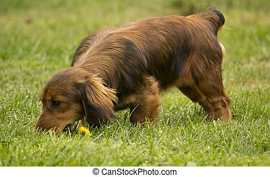 Dog tracking/sniffing - Young daschund dog tracking in the...