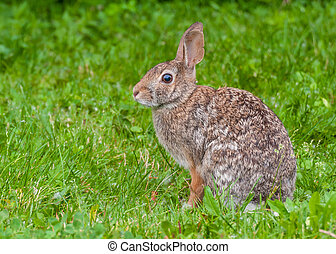 Cottontail Rabbit - A Cottontail Rabbit sitting in the...