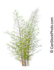 Young bamboo tree, tropical tree in the northeast of Thailand is